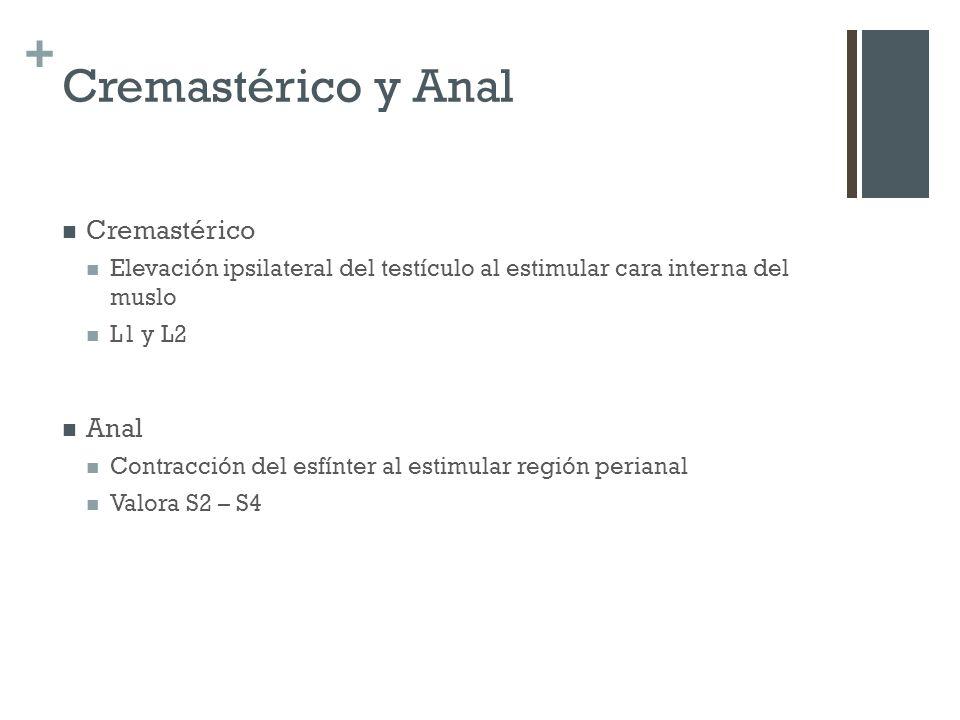 + Cremastérico y Anal Cremastérico Elevación ipsilateral del testículo al estimular cara interna del muslo L1 y L2 Anal Contracción del esfínter al es