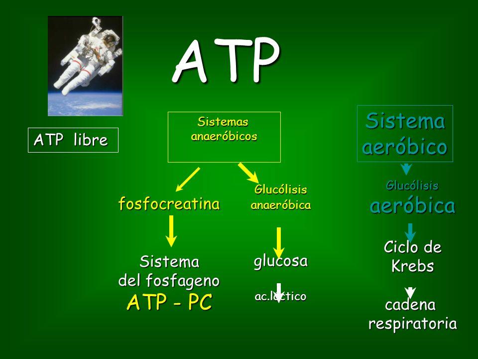 ATP ATP libre Sistemasanaeróbicos Sistemaaeróbico fosfocreatinaSistema del fosfageno ATP - PC Glucólisisanaeróbicaglucosaac.láctico Glucólisisaeróbica Ciclo de Krebscadenarespiratoria