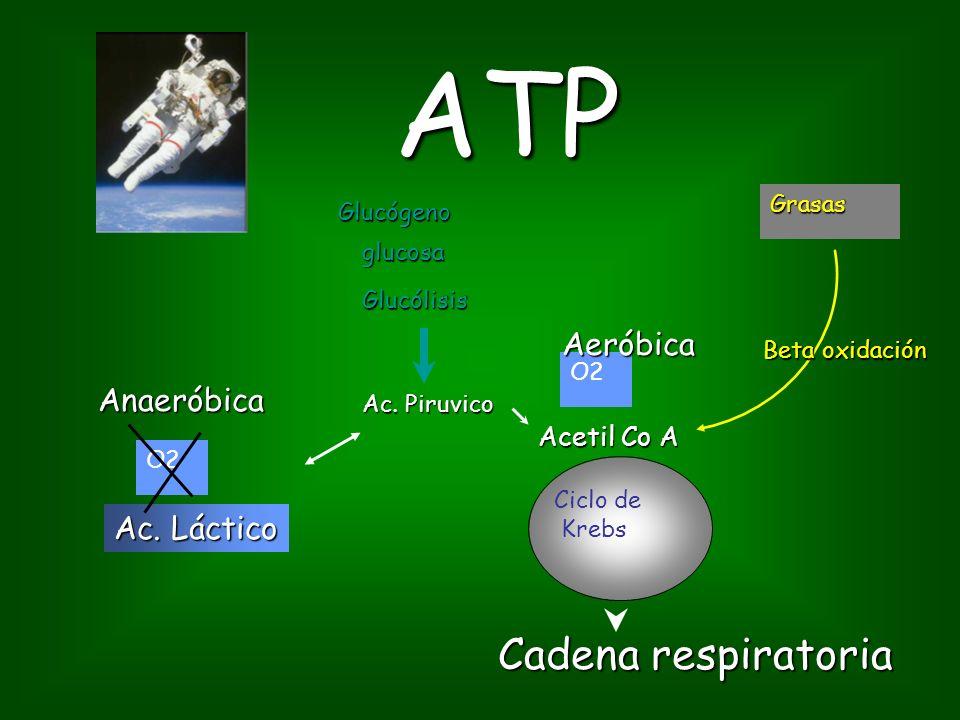 ATP glucosa Krebs Acetil Co A Ac.Piruvico Grasas Glucógeno Ac.