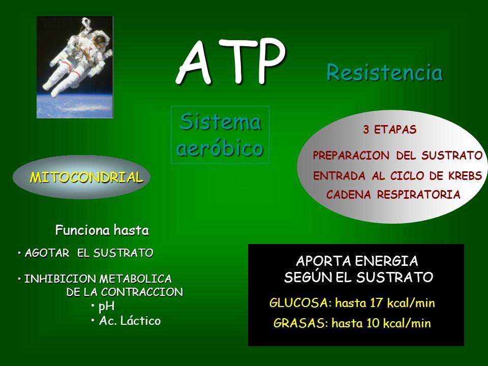 ATP GLUCOSA: hasta 17 kcal/min GRASAS: hasta 10 kcal/min Sistemaaeróbico MITOCONDRIAL Funciona hasta 3 ETAPAS PREPARACION DEL SUSTRATO ENTRADA AL CICLO DE KREBS CADENA RESPIRATORIA AGOTAR EL SUSTRATO AGOTAR EL SUSTRATO INHIBICION METABOLICA DE LA CONTRACCION INHIBICION METABOLICA DE LA CONTRACCION pH Ac.
