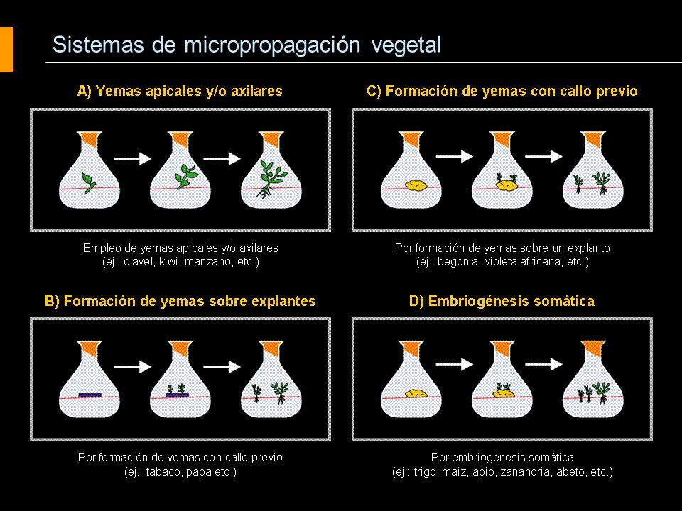 Proliferación de yemas axilares o apicales Agrobiotecnología Cultivo de tejidos vegetales