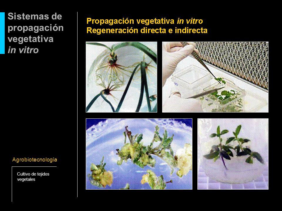 Sistemas de propagación vegetativa in vitro Agrobiotecnología Cultivo de tejidos vegetales
