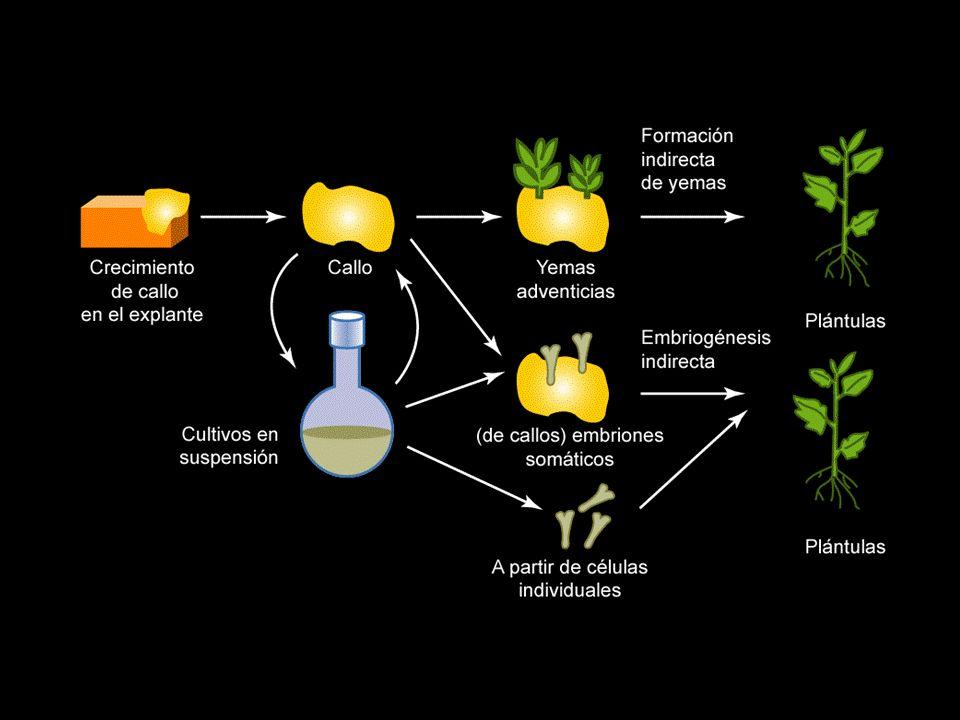 Sistemas de micropropagación vegetal Cultivo de meristemos Agrobiotecnología Cultivo de tejidos vegetales