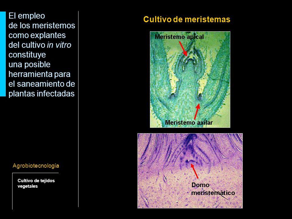 - El domo meristemático no está vascularizado (muchos patógenos se translocan por los tejidos de conducción).