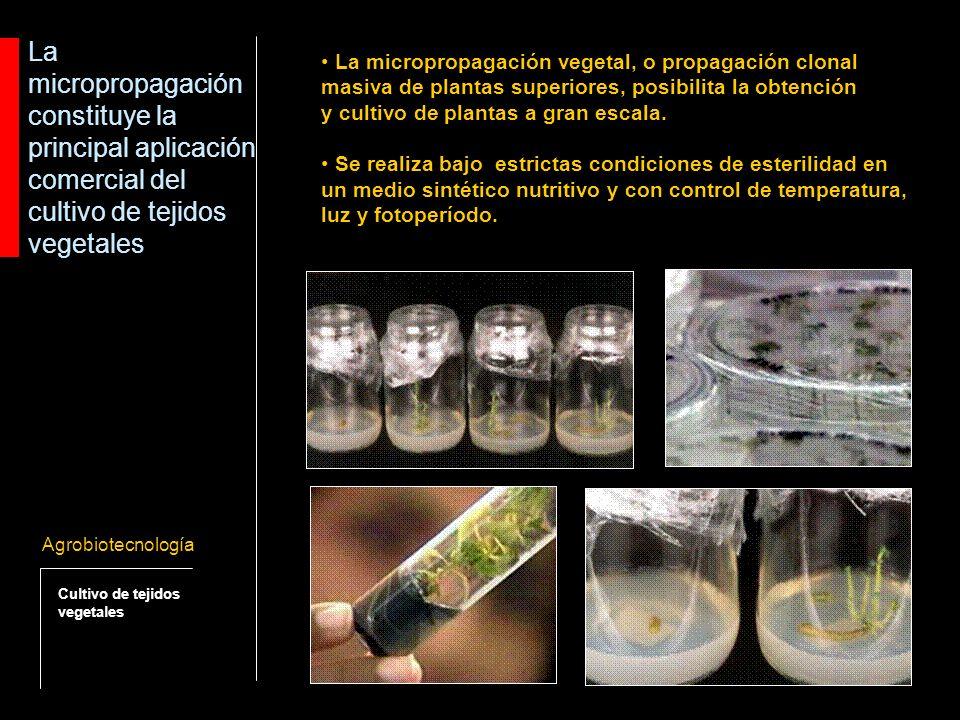 Consideraciones técnicas de la propagación clonal masiva de plantas Agrobiotecnología Cultivo de tejidos vegetales