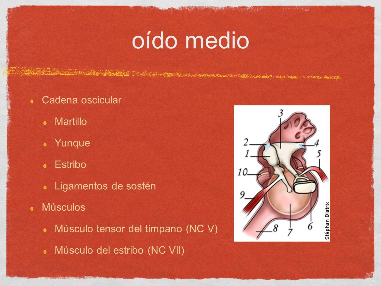Cadena oscicular Martillo Yunque Estribo Ligamentos de sostén Músculos Músculo tensor del tímpano (NC V) Músculo del estribo (NC VII)
