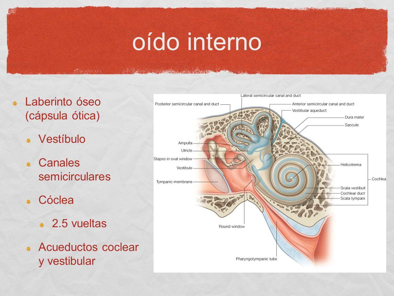 oído interno Laberinto óseo (cápsula ótica) Vestíbulo Canales semicirculares Cóclea 2.5 vueltas Acueductos coclear y vestibular