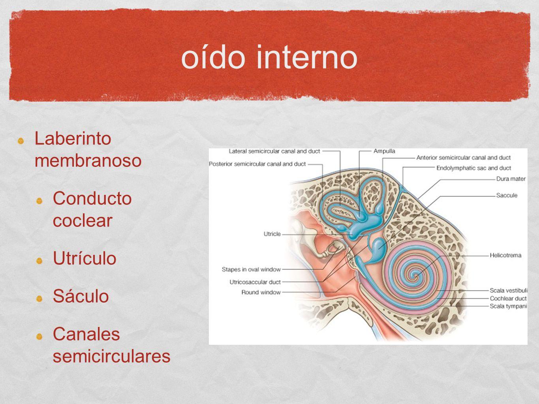 oído interno Laberinto membranoso Conducto coclear Utrículo Sáculo Canales semicirculares