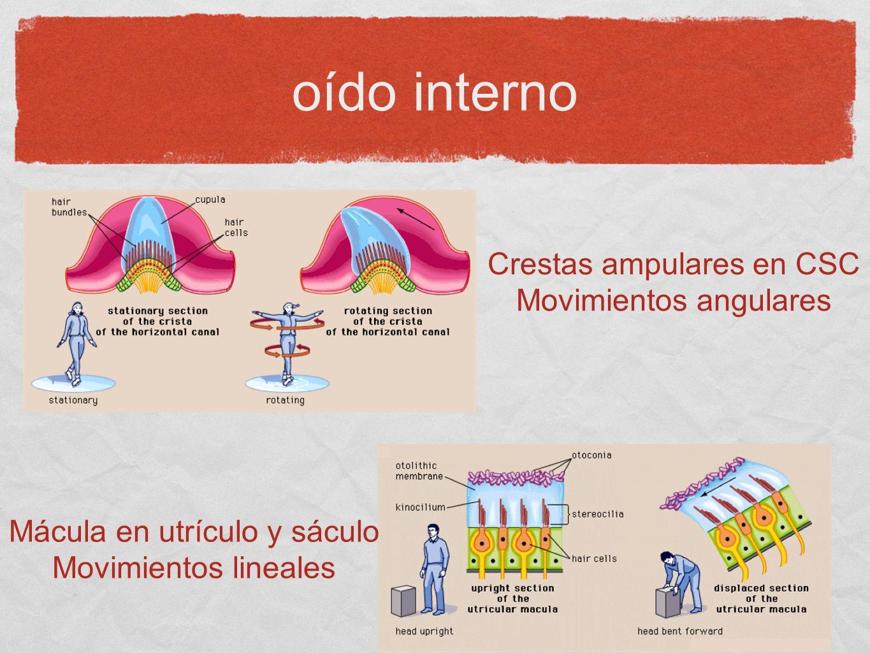oído interno Crestas ampulares en CSC Movimientos angulares Mácula en utrículo y sáculo Movimientos lineales