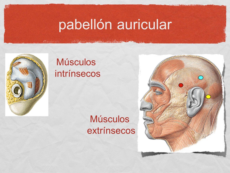 pabellón auricular Inervación PC V (auriculotemporal), VII, X (Arnold) N.
