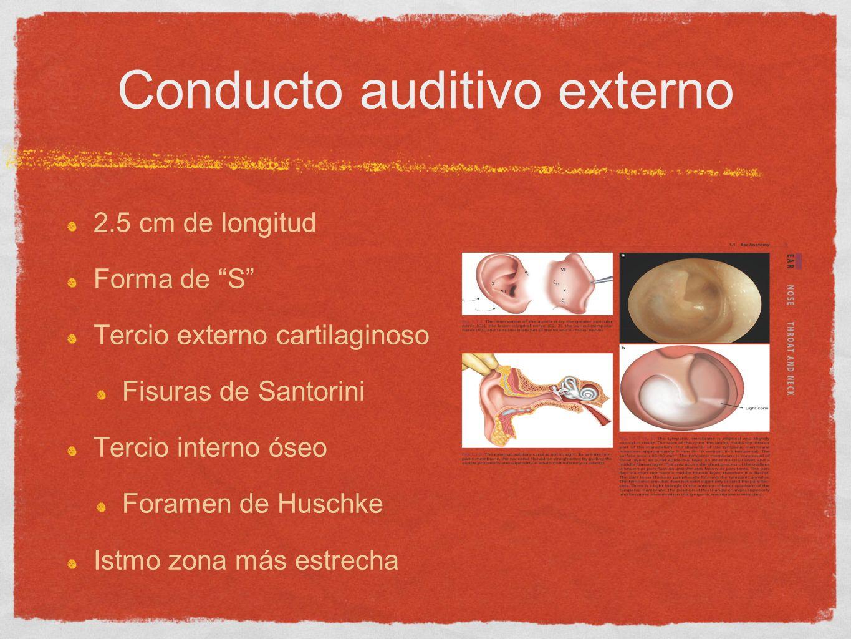 Conducto auditivo externo 2.5 cm de longitud Forma de S Tercio externo cartilaginoso Fisuras de Santorini Tercio interno óseo Foramen de Huschke Istmo
