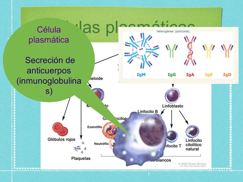 células plasmáticas Célula plasmática Secreción de anticuerpos (inmunoglobulina s) heterogénea (policlonal),