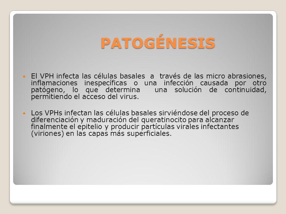 PATOGÉNESIS El VPH infecta las células basales a través de las micro abrasiones, inflamaciones inespecíficas o una infección causada por otro patógeno