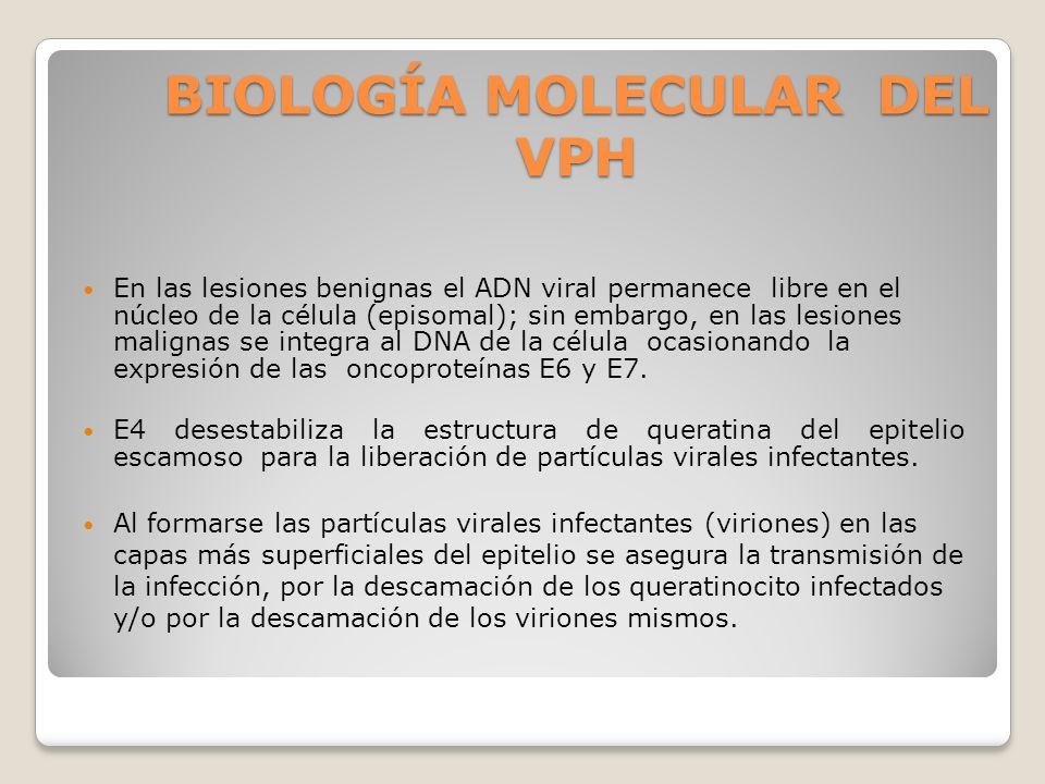 BIOLOGÍA MOLECULAR DEL VPH En las lesiones benignas el ADN viral permanece libre en el núcleo de la célula (episomal); sin embargo, en las lesiones ma