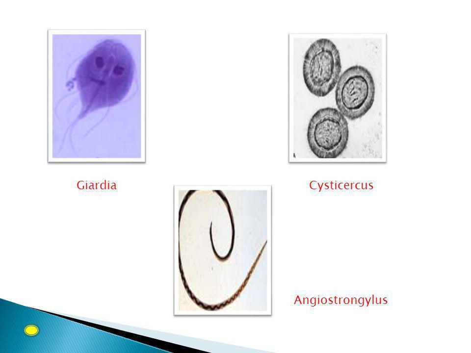GiardiaCysticercus Angiostrongylus