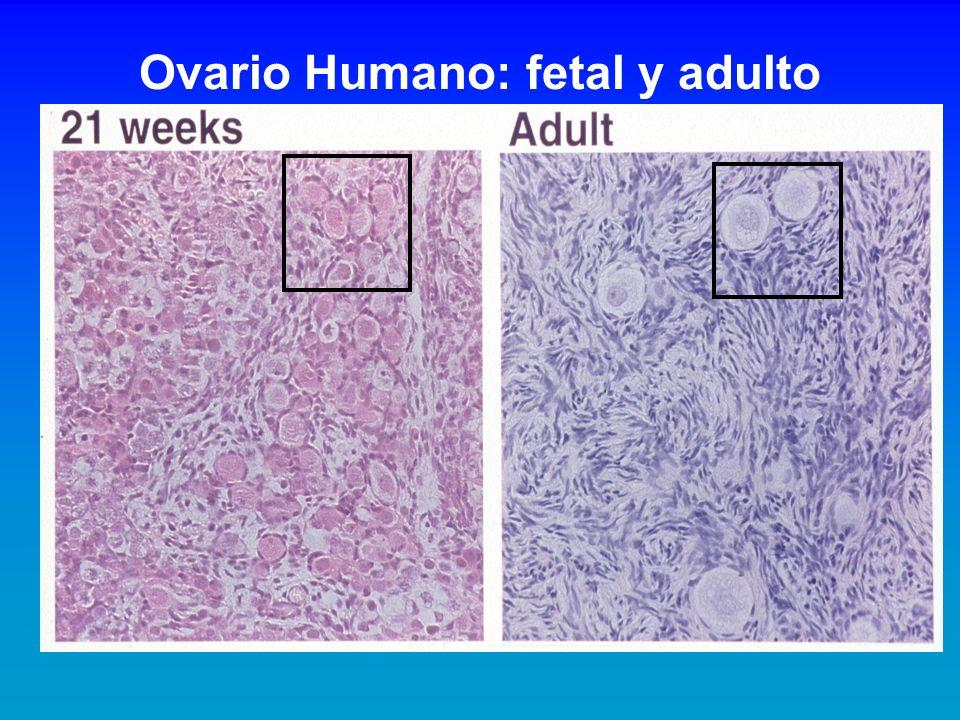 Ovario Humano: fetal y adulto