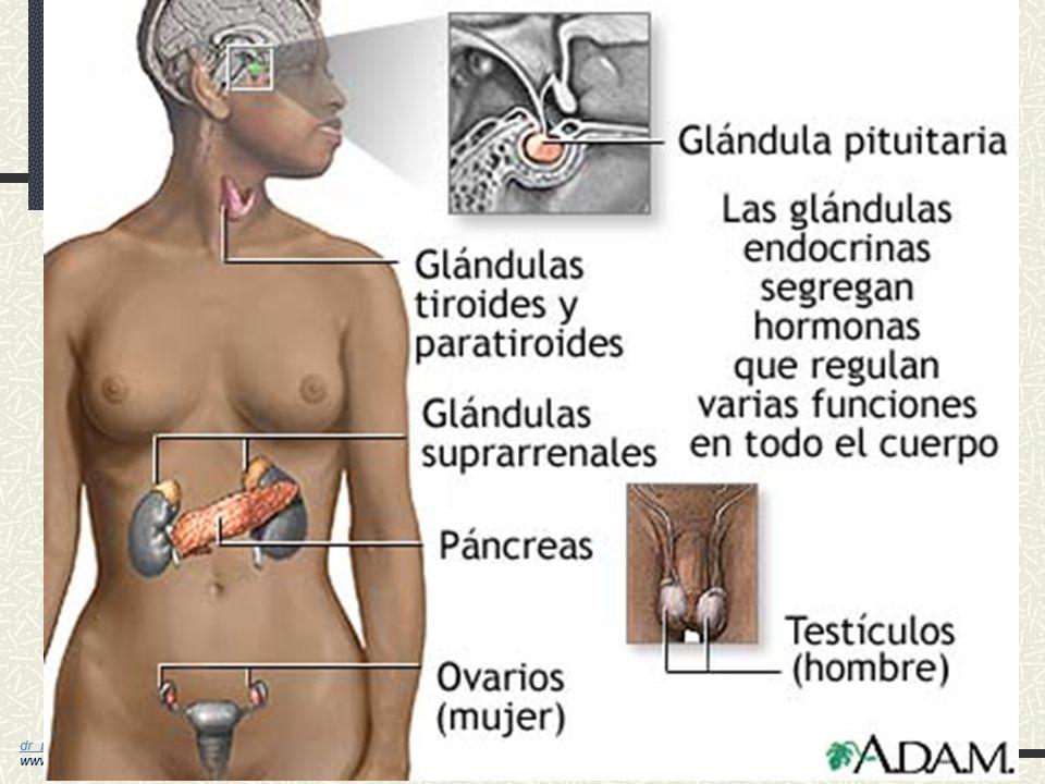 dr_paez@yahoo.com dr_paez@yahoo.com www.drpaez.com Características del Sistema Endócrino Secretan hormonas hacia la sangre y líquido intersticiales La