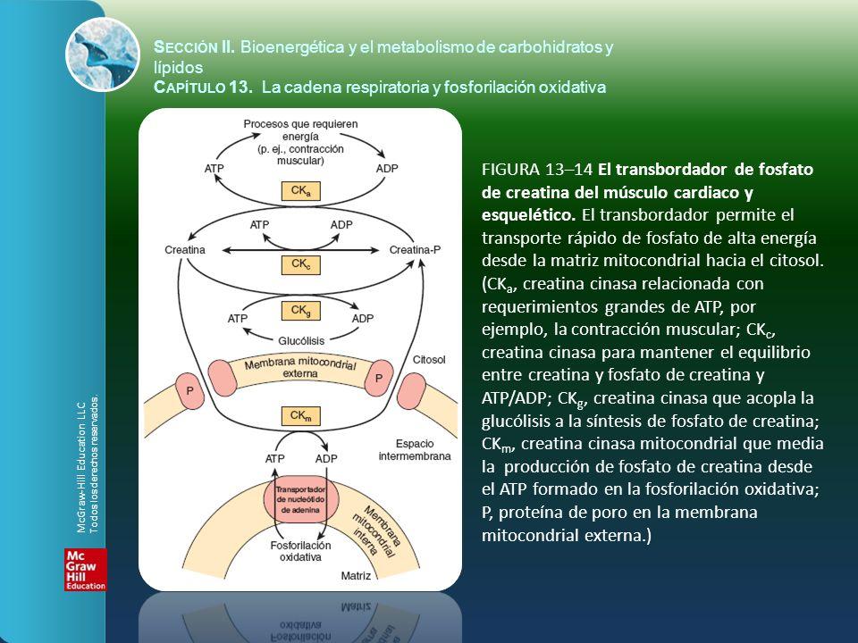 FIGURA 13–14 El transbordador de fosfato de creatina del músculo cardiaco y esquelético. El transbordador permite el transporte rápido de fosfato de a