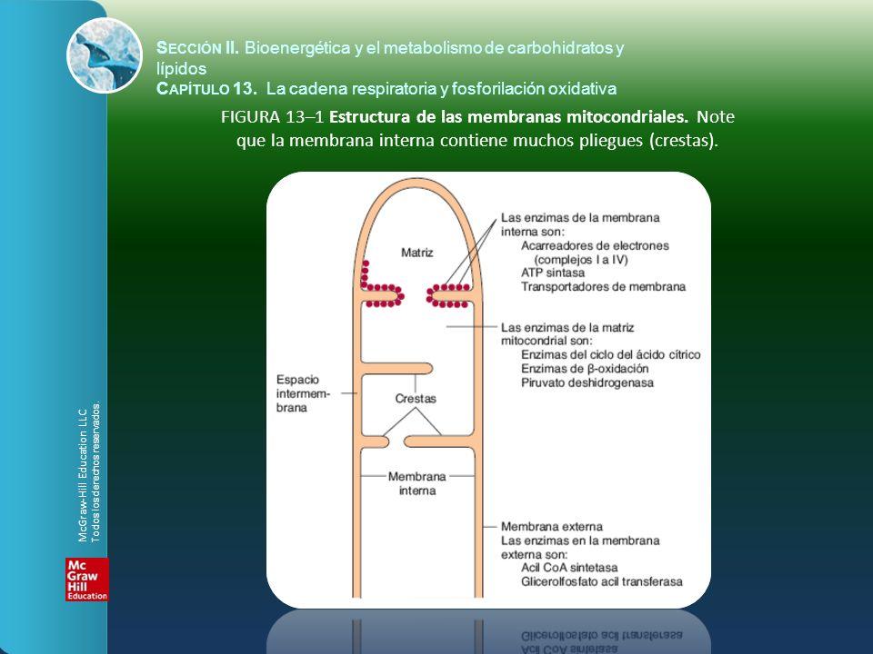 FIGURA 13–2 Papel de la cadena respiratoria de mitocondrias en la conversión de energía de los alimentos en ATP.