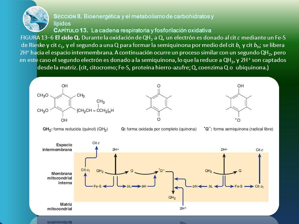 FIGURA 13–7 La teoría quimiosmótica de la fosforilación oxidativa.