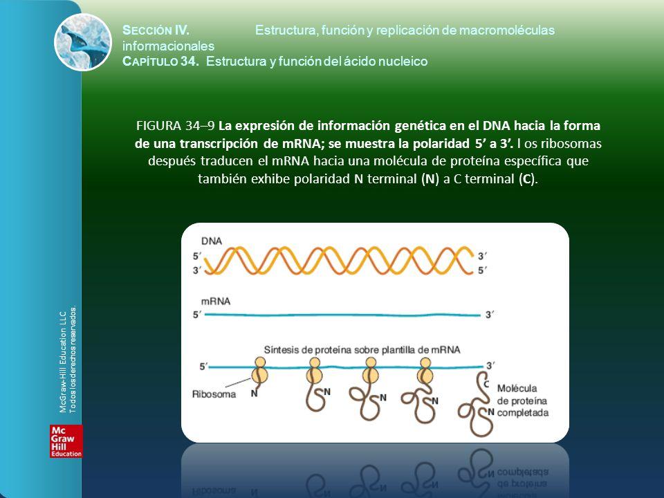 FIGURA 34–9 La expresión de información genética en el DNA hacia la forma de una transcripción de mRNA; se muestra la polaridad 5 a 3. l os ribosomas