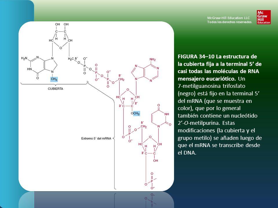 FIGURA 34–10 La estructura de la cubierta fija a la terminal 5 de casi todas las moléculas de RNA mensajero eucariótico. Un 7-metilguanosina trifosfat