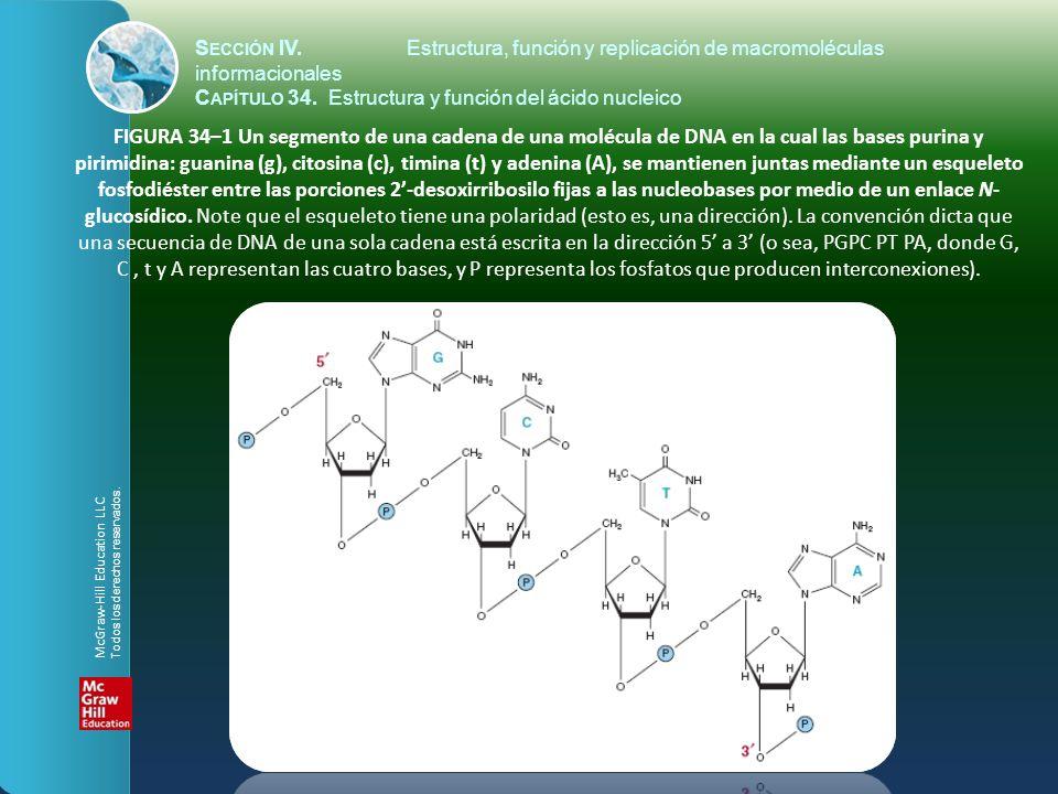 FIGURA 34–1 Un segmento de una cadena de una molécula de DNA en la cual las bases purina y pirimidina: guanina (g), citosina (c), timina (t) y adenina