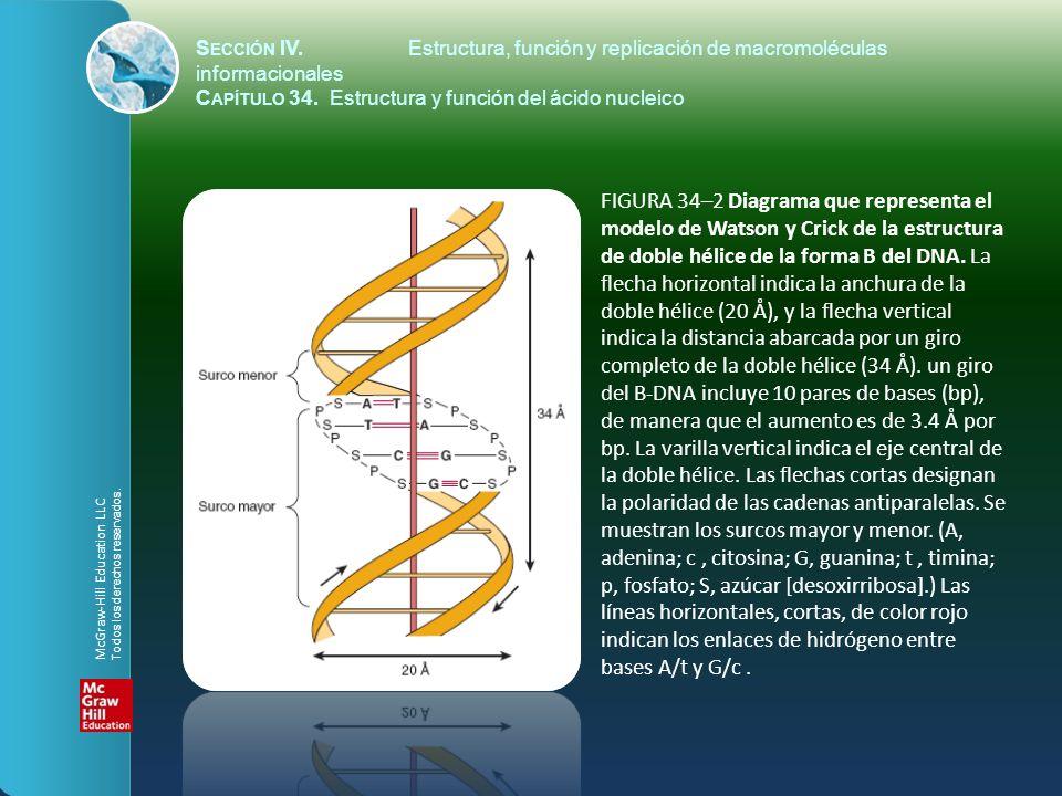 S ECCIÓN IV.Estructura, función y replicación de macromoléculas informacionales C APÍTULO 34. Estructura y función del ácido nucleico FIGURA 34–2 Diag