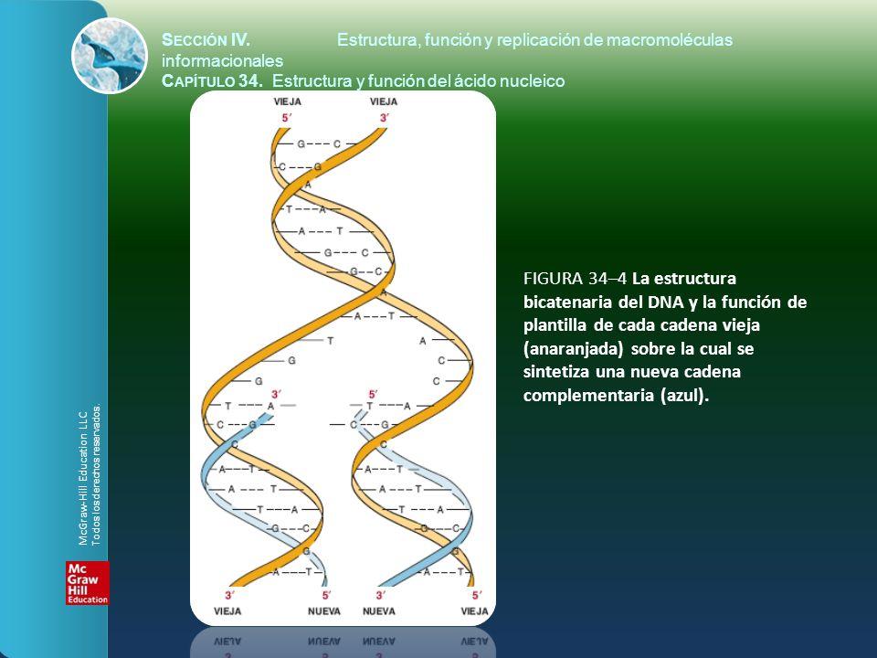 FIGURA 34–4 La estructura bicatenaria del DNA y la función de plantilla de cada cadena vieja (anaranjada) sobre la cual se sintetiza una nueva cadena