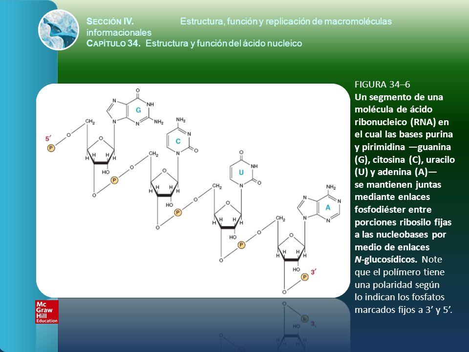 FIGURA 34–6 Un segmento de una molécula de ácido ribonucleico (RNA) en el cual las bases purina y pirimidina guanina (G), citosina (C), uracilo (U) y