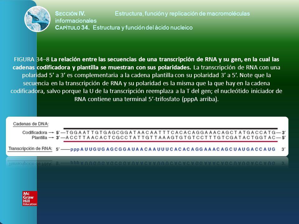 FIGURA 34–9 La expresión de información genética en el DNA hacia la forma de una transcripción de mRNA; se muestra la polaridad 5 a 3.