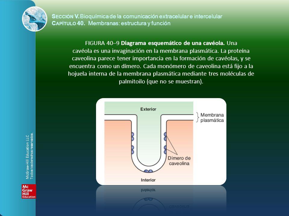 FIGURA 40–9 Diagrama esquemático de una cavéola. Una cavéola es una invaginación en la membrana plasmática. La proteína caveolina parece tener importa