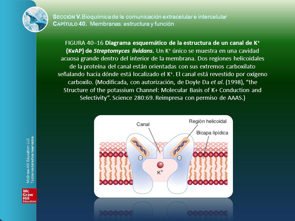 FIGURA 40–16 Diagrama esquemático de la estructura de un canal de K + (KvAP) de Streptomyces lividans. Un K + único se muestra en una cavidad acuosa g