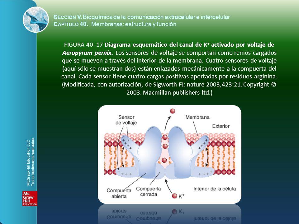 FIGURA 40–17 Diagrama esquemático del canal de K + activado por voltaje de Aeropyrum pernix. Los sensores de voltaje se comportan como remos cargados