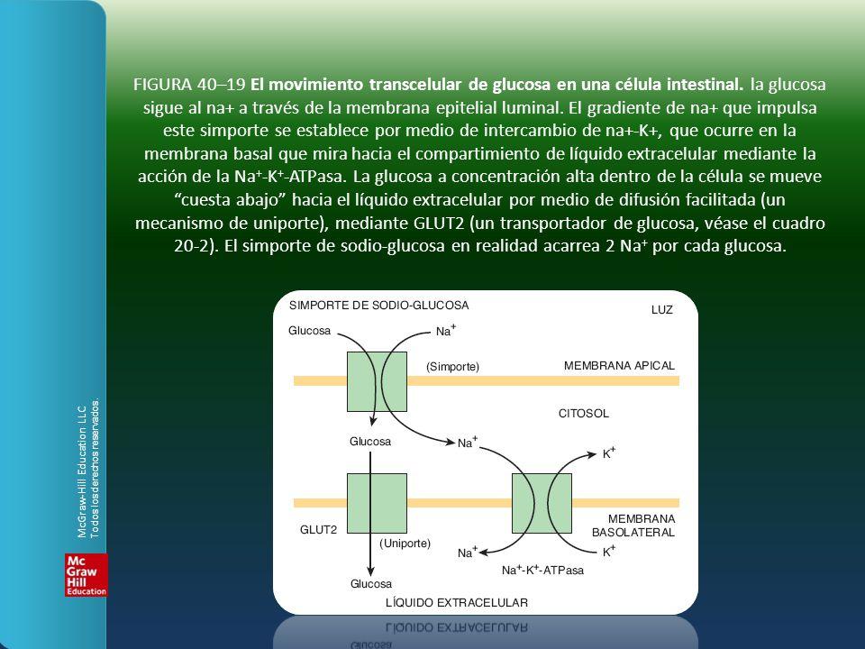 FIGURA 40–19 El movimiento transcelular de glucosa en una célula intestinal. la glucosa sigue al na+ a través de la membrana epitelial luminal. El gra