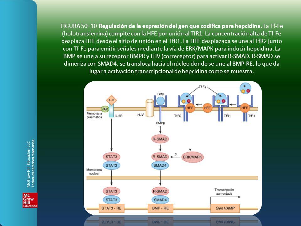 FIGURA 50–10 Regulación de la expresión del gen que codifica para hepcidina. La Tf-Fe (holotransferrina) compite con la HFE por unión al TfR1. La conc