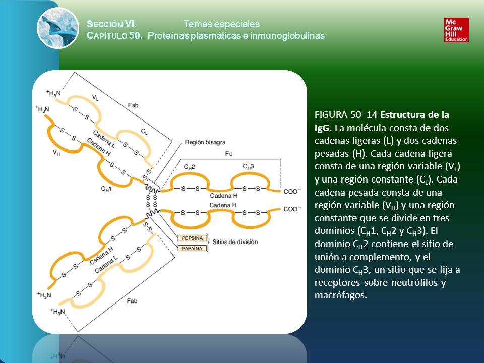 S ECCIÓN VI.Temas especiales C APÍTULO 50. Proteínas plasmáticas e inmunoglobulinas FIGURA 50–14 Estructura de la IgG. La molécula consta de dos caden