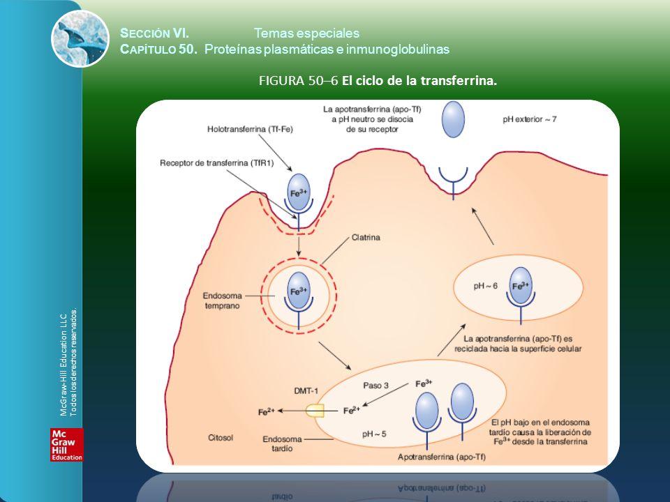 S ECCIÓN VI.Temas especiales C APÍTULO 50. Proteínas plasmáticas e inmunoglobulinas FIGURA 50–6 El ciclo de la transferrina. McGraw-Hill Education LLC