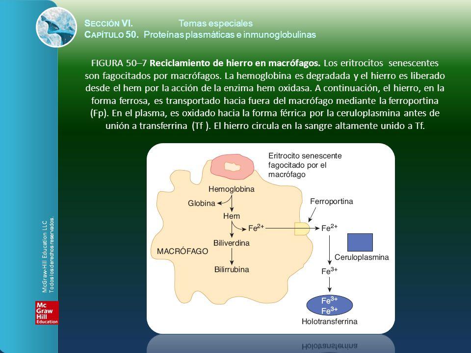 S ECCIÓN VI.Temas especiales C APÍTULO 50. Proteínas plasmáticas e inmunoglobulinas FIGURA 50–7 Reciclamiento de hierro en macrófagos. Los eritrocitos
