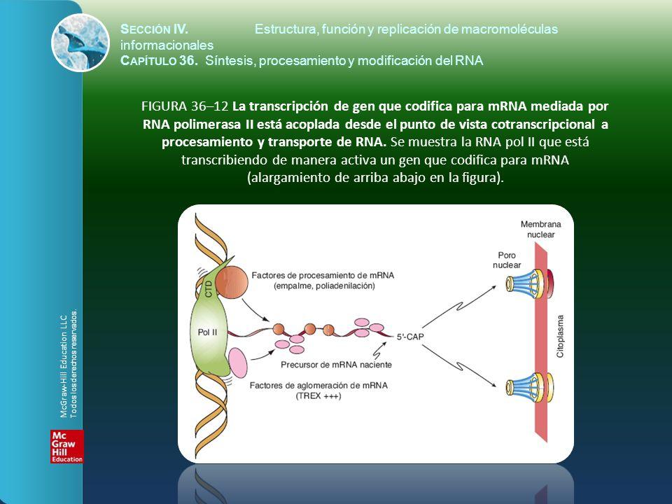 FIGURA 36–12 La transcripción de gen que codifica para mRNA mediada por RNA polimerasa II está acoplada desde el punto de vista cotranscripcional a pr