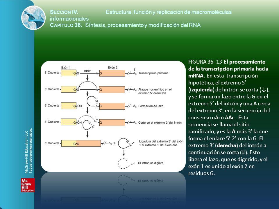 FIGURA 36–13 El procesamiento de la transcripción primaria hacia mRNA. En esta transcripción hipotética, el extremo 5 (izquierda) del intrón se corta