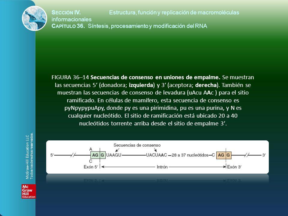 FIGURA 36–14 Secuencias de consenso en uniones de empalme. Se muestran las secuencias 5 (donadora; izquierda) y 3 (aceptora; derecha). También se mues