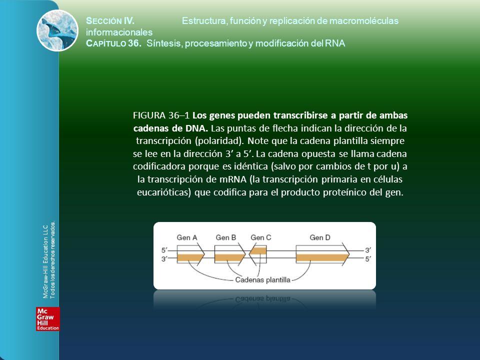 FIGURA 36–2 La RNA polimerasa (RNAP) cataliza la polimerización de ribonucleótidos hacia una secuencia de RNA que es complementaria a la cadena plantilla del gen.