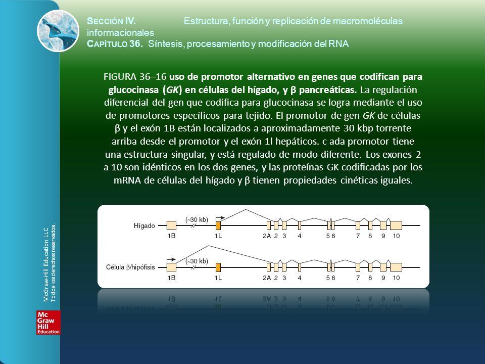 FIGURA 36–16 uso de promotor alternativo en genes que codifican para glucocinasa (GK) en células del hígado, y β pancreáticas. La regulación diferenci