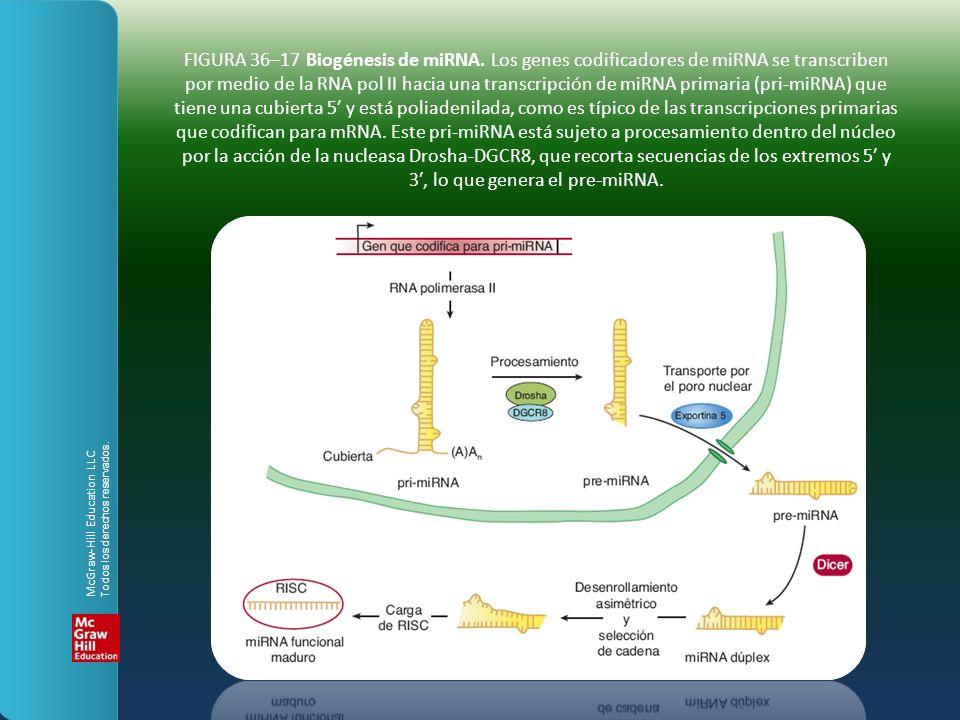 FIGURA 36–17 Biogénesis de miRNA. Los genes codificadores de miRNA se transcriben por medio de la RNA pol II hacia una transcripción de miRNA primaria