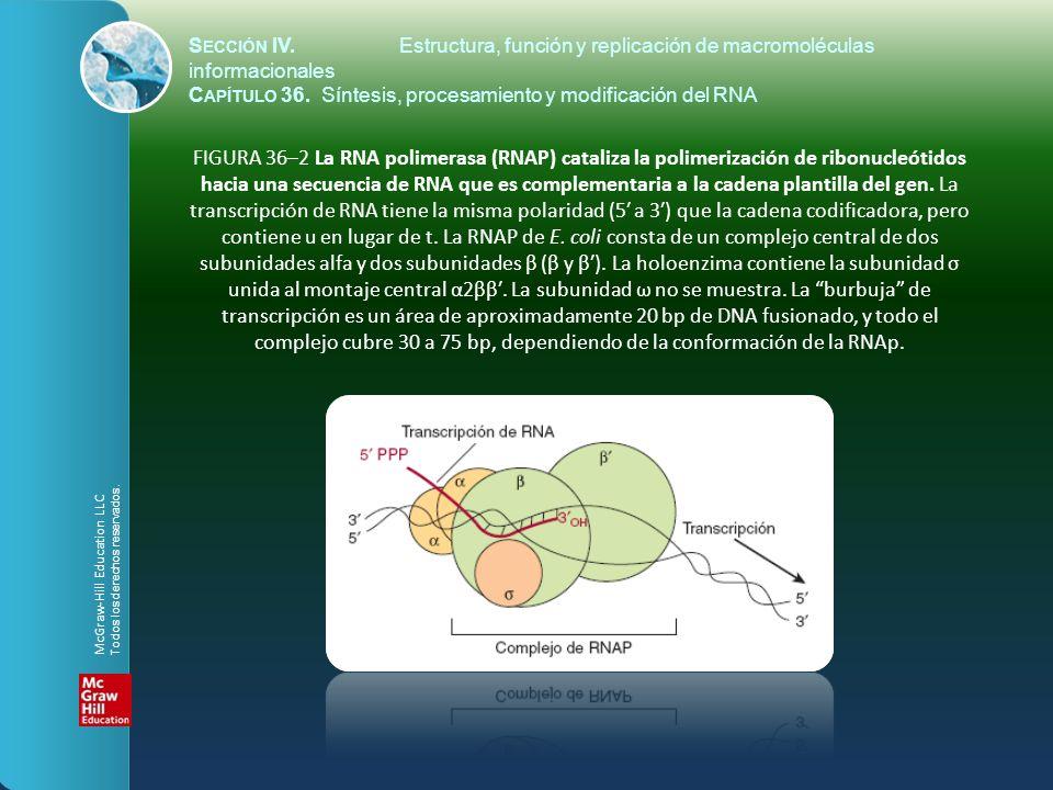 FIGURA 36–2 La RNA polimerasa (RNAP) cataliza la polimerización de ribonucleótidos hacia una secuencia de RNA que es complementaria a la cadena planti