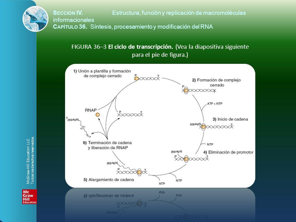 FIGURA 36–3 El ciclo de transcripción. (Vea la diapositiva siguiente para el pie de figura.) S ECCIÓN IV.Estructura, función y replicación de macromol