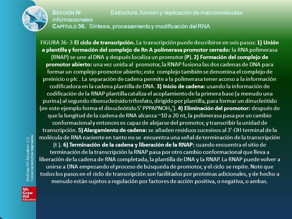 FIGURA 36–4 Representación esquemática de una fotomicrografía electrónica de múltiples copias de genes de rRNA de anfibio en el proceso de ser transcritos.