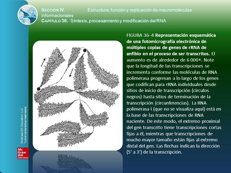 FIGURA 36–4 Representación esquemática de una fotomicrografía electrónica de múltiples copias de genes de rRNA de anfibio en el proceso de ser transcr
