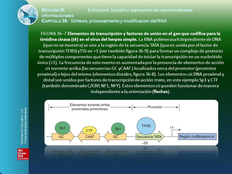 FIGURA 36–7 Elementos de transcripción y factores de unión en el gen que codifica para la timidina cinasa (tk) en el virus del herpes simple. La RNA p